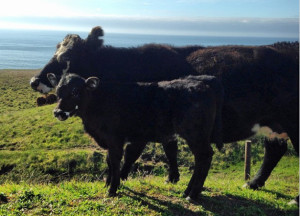 Cow & Calf on PCH (January 3, 2015)